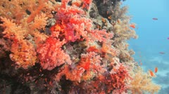 Magnificent red soft coral at the reef Stock Footage