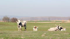 Podolian cows on pasture Stock Footage