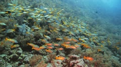 shoal of yellow striped snapper gathered at the reef - stock footage