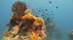 clouds of red clown and damsel fish covering the anemone - stock footage
