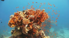 clouds of red anthias covering the coral pillar - stock footage