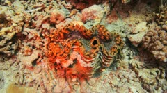 colorful gaint clam sitting at the sea bed - stock footage