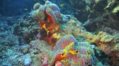 anemone city covered by clown fish - stock footage