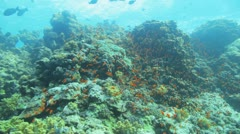 Red anthias at the reef Stock Footage