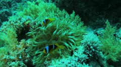 anemone with clown fish on top - stock footage