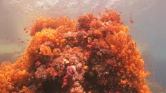 red anthias covers magnificent yellow reef - stock footage