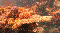 red and yellow anthias covering the reef - stock footage