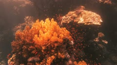 huge piece of soft coral covered by anthias - stock footage