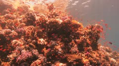 beautiful reef covered by red anthias - stock footage