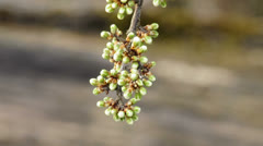 Blackthorn blossom Stock Footage
