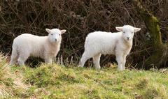 Two white lambs Stock Photos