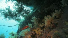 Coral grouper swims over the soft coral under neath the over hang Stock Footage