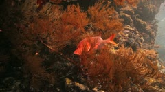 squirrel fish hidden on the black coral - stock footage