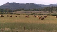 Stock Video Footage of gtnp elk.