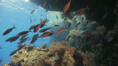 Shoal of fish swims under neath the over hang Stock Footage