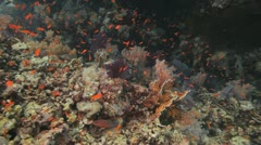 magnificent reef covered by soft corals and red anthias - stock footage