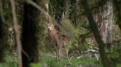 Two red deer stags in bush running away. Stock Footage