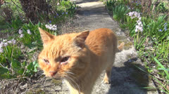 Sick Cat Looking at Camera, Animal, Meowing Ill Pet walking in Garden, Pets Stock Footage