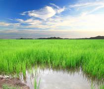green rice field and sky for background - stock photo