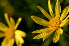 Detail of a yellow daisy among green vegetation Stock Photos