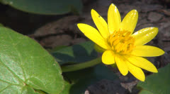 Isolated Yellow Spring Flower on Meadow, Field, Lawn, Springtime, Macro Stock Footage