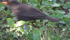Blackbird in Spring Flowers on Meadow, Field, Lawn, Closeup, Black Bird in Grass Stock Footage