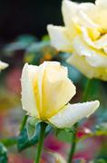 yellow roses. - stock photo