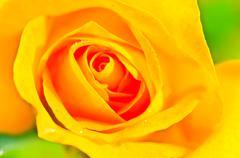 roses. - stock photo