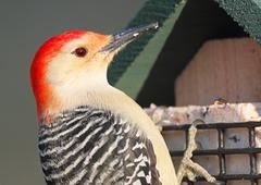 Woodpecker on a feeder Stock Photos