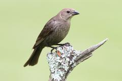female cowbird on a perch - stock photo