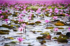 Lootuksen kukka kukkien kentän, matkailu aasia Piirros