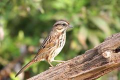 song sparrow (melospiza melodia) - stock photo