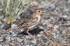 grasshopper sparrow (ammodramus savannarum) - stock photo