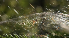 Mating sheet-weaver spiders 4b Stock Footage