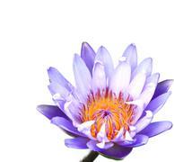 beautiful lotus(single lotus flower isolated on white background) - stock photo