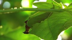 T/L Stunning active Butterfly Archaeprepona demophon gulina CATERPILLAR Stock Footage