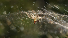 Mating sheet-weaver spiders 5 Stock Footage