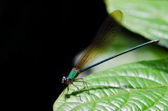 Closeup of dragonfly calopteryx virgo Stock Photos