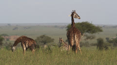 Giraffe Serengeti compilation - 5clips - stock footage