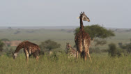 Stock Video Footage of Giraffe Serengeti compilation - 5clips