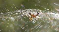 Mating sheet-weaver spiders 4 Stock Footage