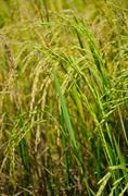 Rice in field. Stock Photos