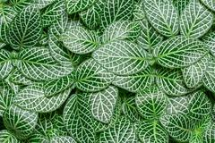 fittonia albivenis - stock photo