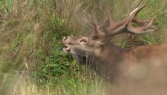 Closeup Red Stag roaring in NZ. Stock Footage