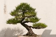 Stock Photo of Bonsai Tree