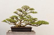 Stock Photo of Potted Bonsai Tree