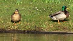 Mallard duck - Anas platyrhynchos Stock Footage