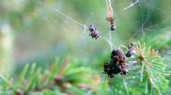 Red wood ants foraging in a spider web 1 Stock Footage