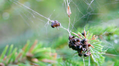 Red wood ants foraging in a spider web 6 Stock Footage