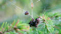 Red wood ants foraging in a spider web 3 Stock Footage